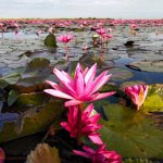 Red Lotus Sea or Talay Bua Daeng, Udon Thani